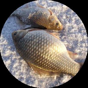 Караси, пойманные зимой